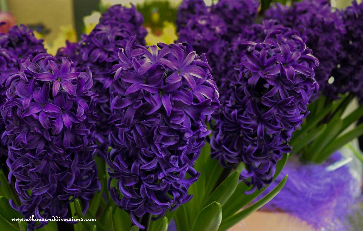 tulip-8