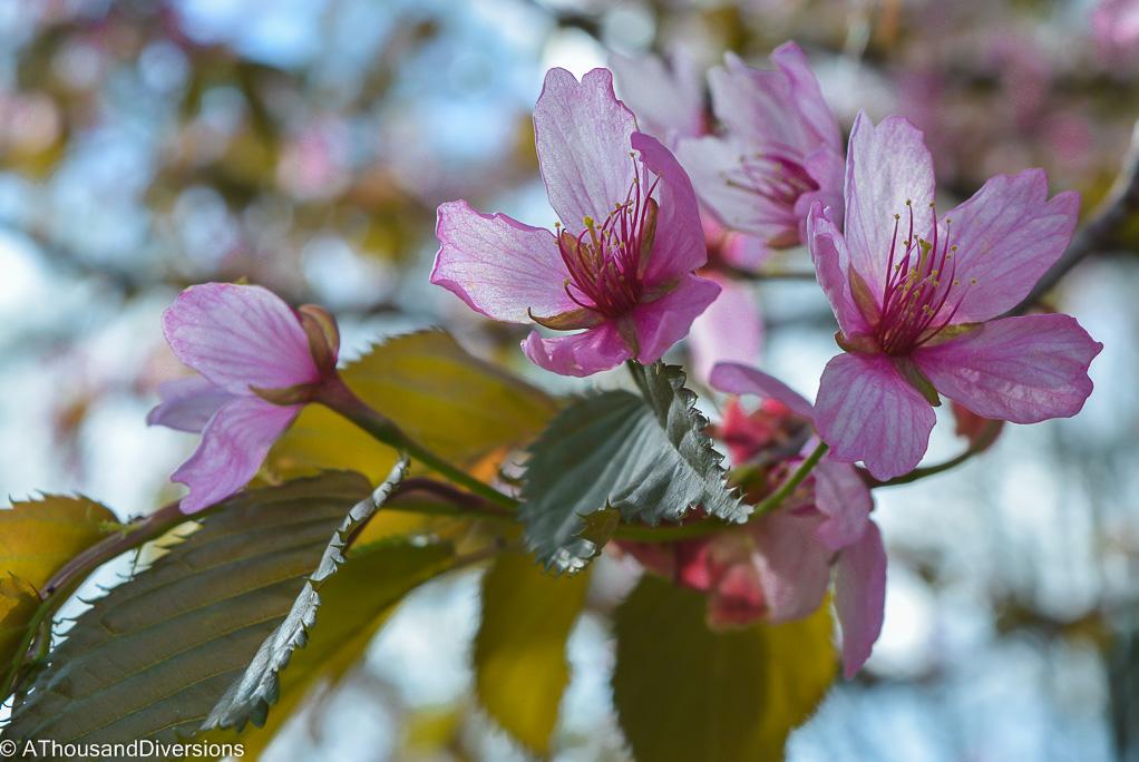 Sakura-5